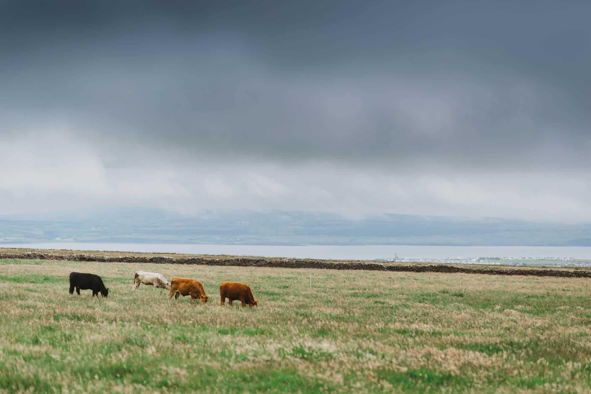 Proposal shoot Ireland more cows